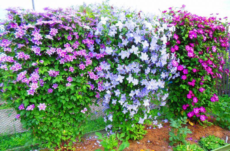 Выращивание клематис в саду 322
