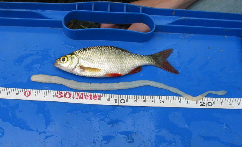 селитерная рыба