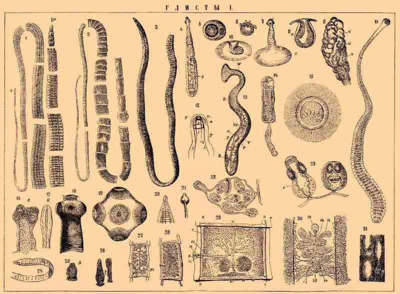 Какие глисты живут у человека