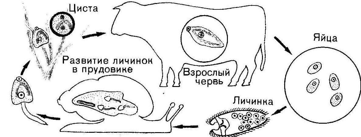 Цикл печеночного сосальщика схема