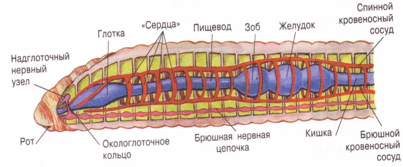 Круглые черви строение