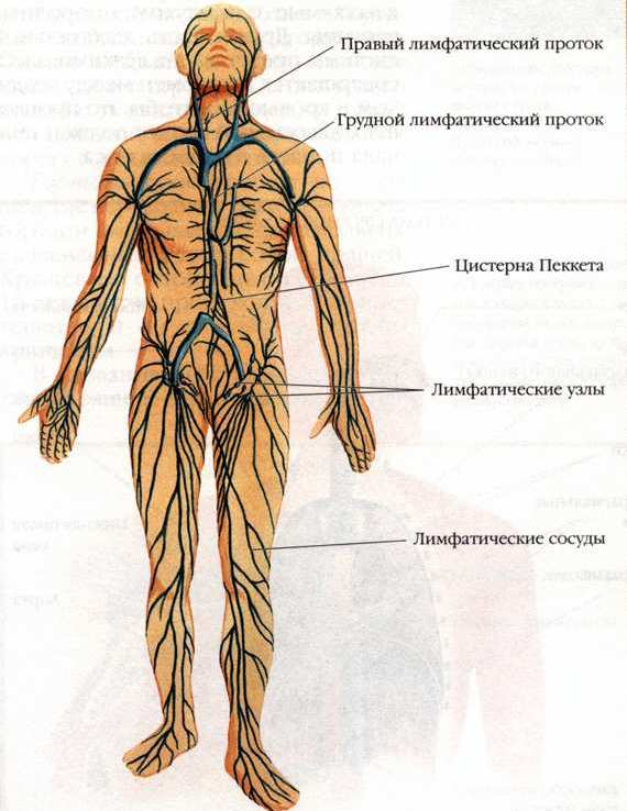 Система Лимфатическая фото