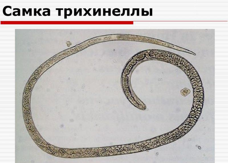фото самки трахинеллы