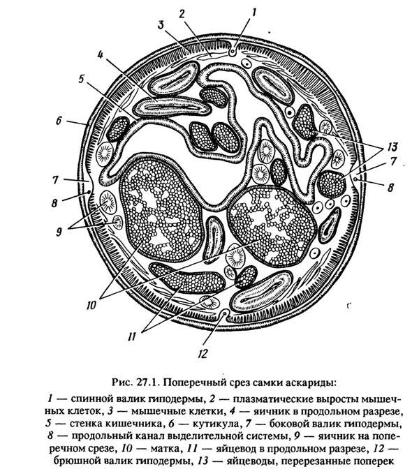 самка аскариды