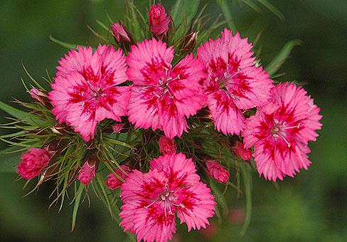 цвет гвоздики