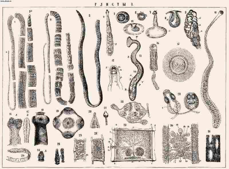 виды глистов у человека