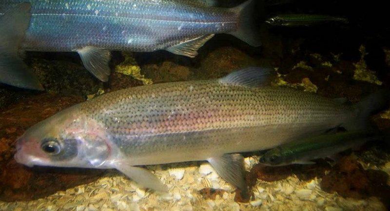 рыба Пелядь