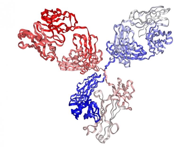 антитела IgG