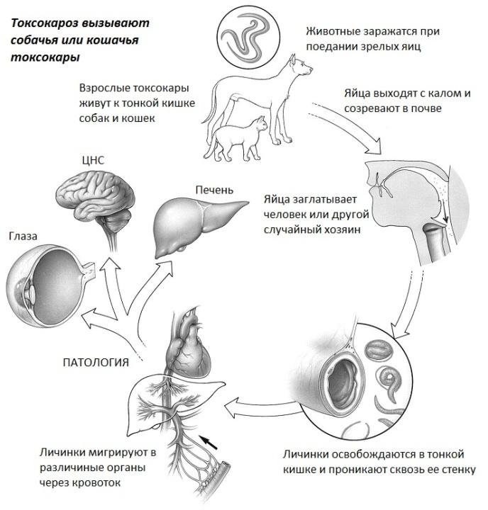 Токсокары проникают в человека