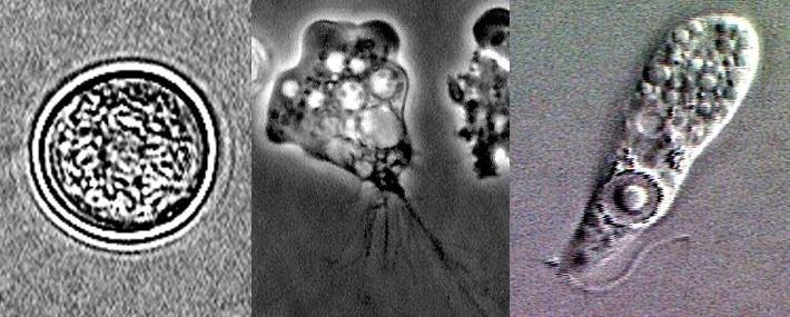 амеба под микроскопом
