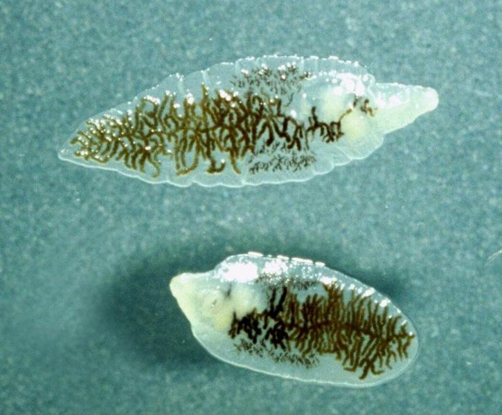 гельминты выделяют токсические вещеста