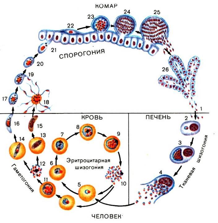 Малярийный плазмодий: жизненный цикл, фото, профилактика Слои Эпидермиса