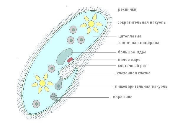 ротик инфузории