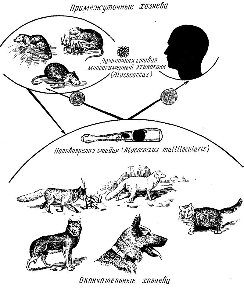 цикл развития альвеоккоккоза