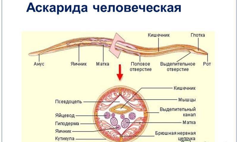 фото человеческая аскарида