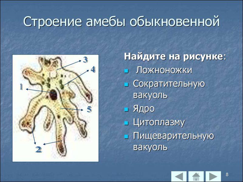 Строение амебы обыкновенной