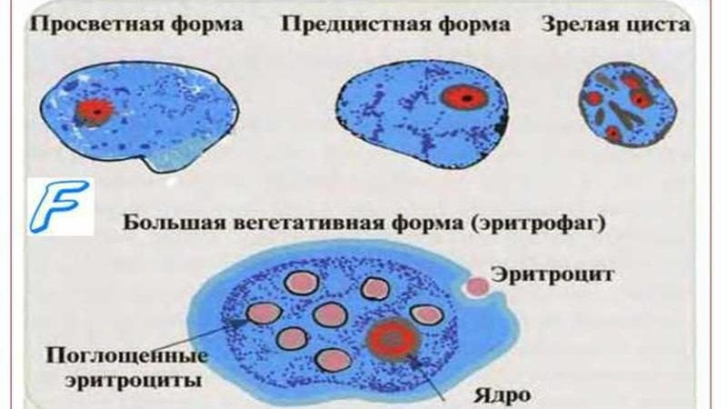 дизентерийная амеба2