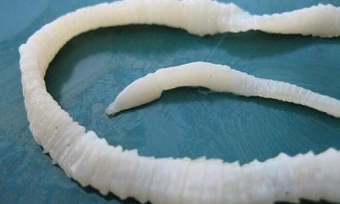 длинный паразит свиной цепень