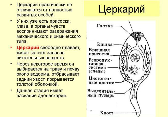 церкарии картинка