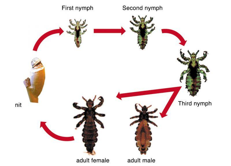 цикл развития вши