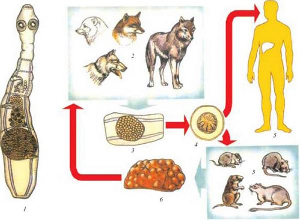 цикл жизни Альвеококка