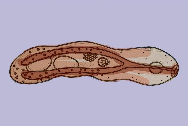Aspidogaster conchicola