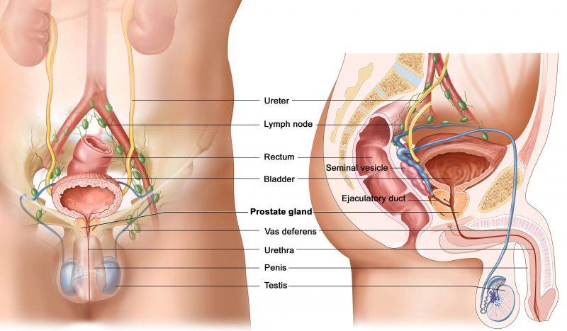 мужские гениталии