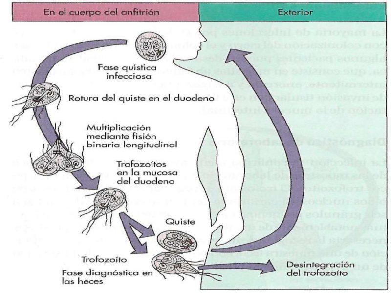 цикл жизни лямблии
