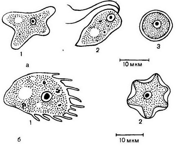 изучение амеб