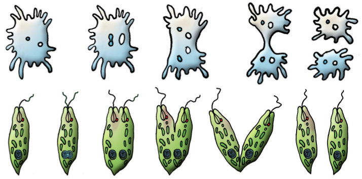 размножение - деление амёбы