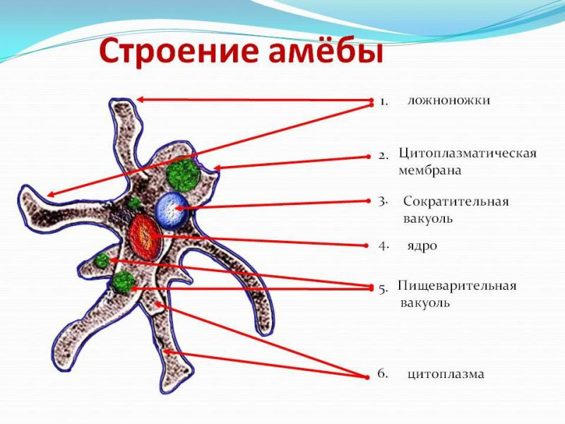 как устроена амеба
