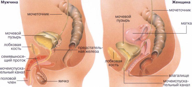мочеполовой систем