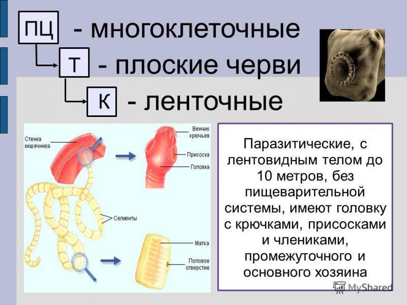 ленточный червь строение