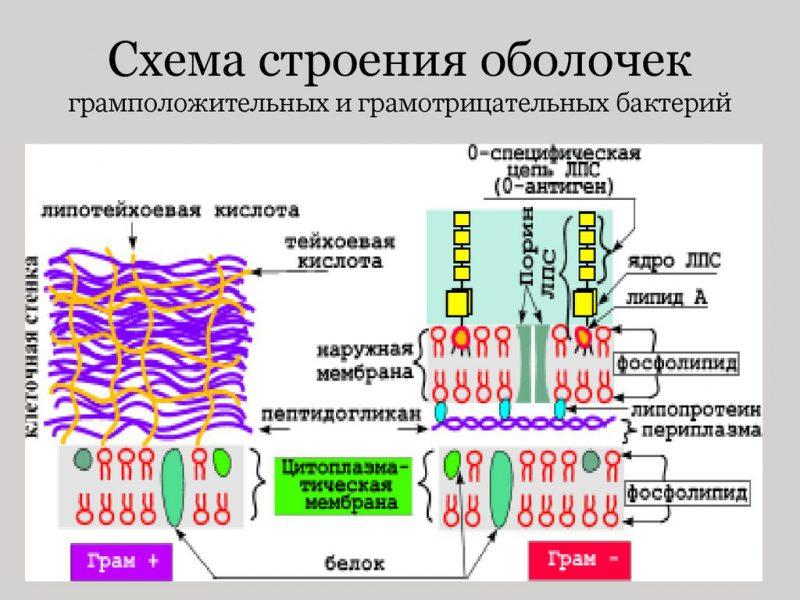 схема оболочек грамотрицательные и грамположительные бактерии
