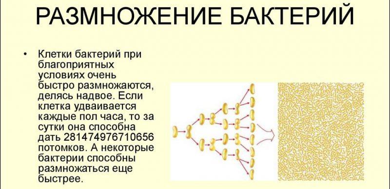 размножение бактерий