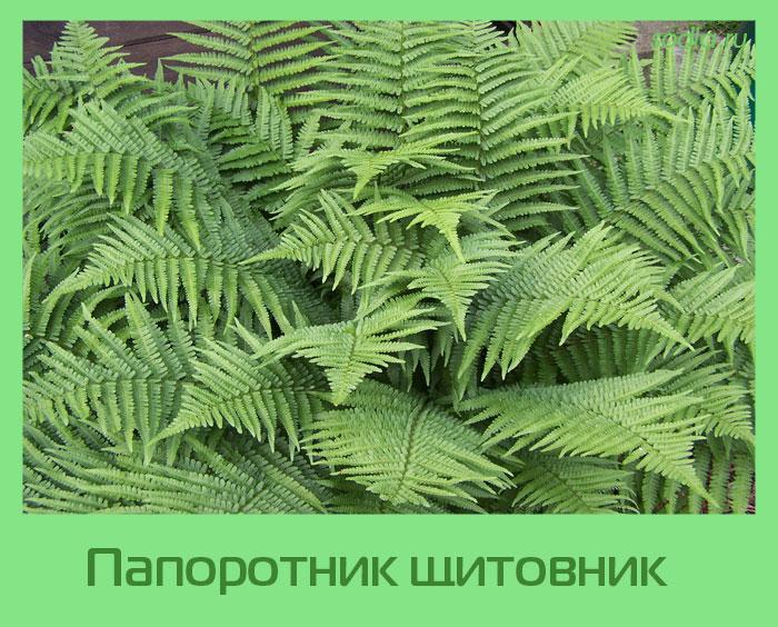 папоротник Щитовник