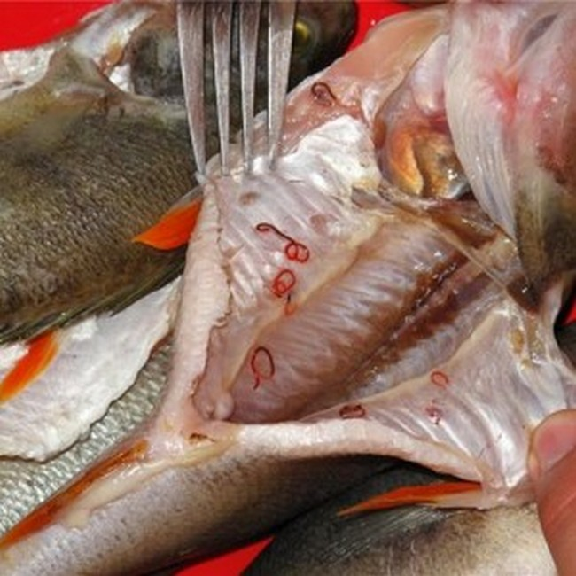 паразиты в рыбе пеляди