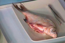 Паразиты, живущие в рыбе: описание разновидностей