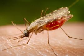 Малярия: симптомы и лечение, как не заразиться