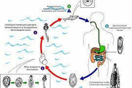 Описторхоз — симптомы у человека и лечение