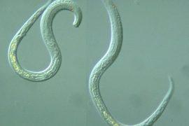 Как выглядят глисты и их личинки в кале