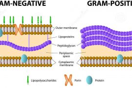 Грамположительные и грамотрицательные бактерии