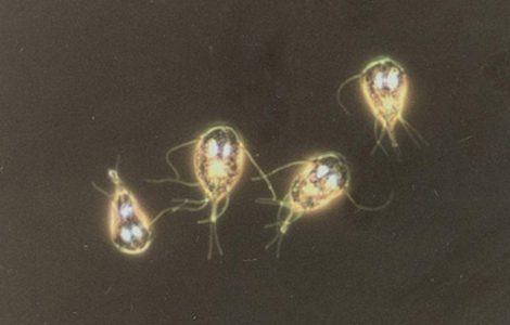Где живут лямблии в организме человека