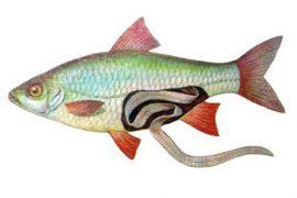 Селитерная рыба: можно ли ее употреблять в пищу?