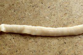 Цикл развития лентеца широкого, выявление в кале и методы лечения