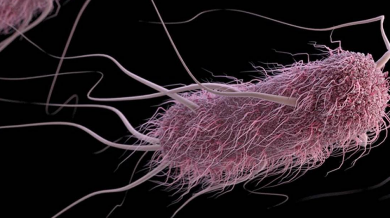 бактерия Escherichia coli