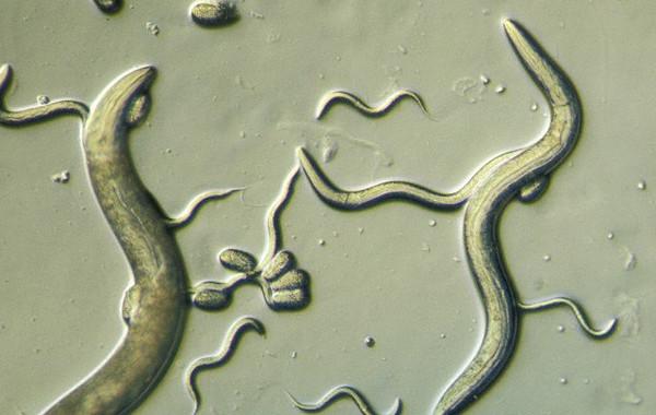 Пути развития стронгилоидоза