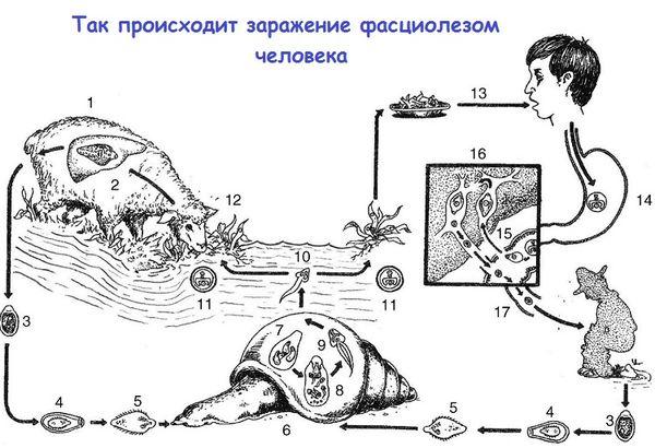 Как паразит развивается внутри