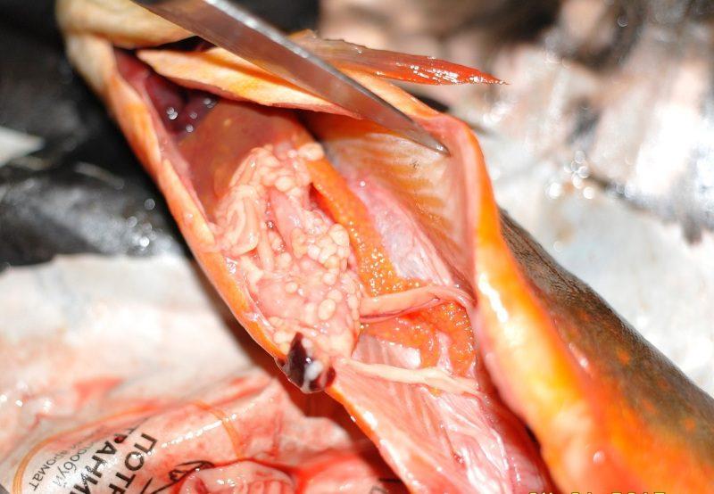 Какую опасность представляют паразиты в рыбе