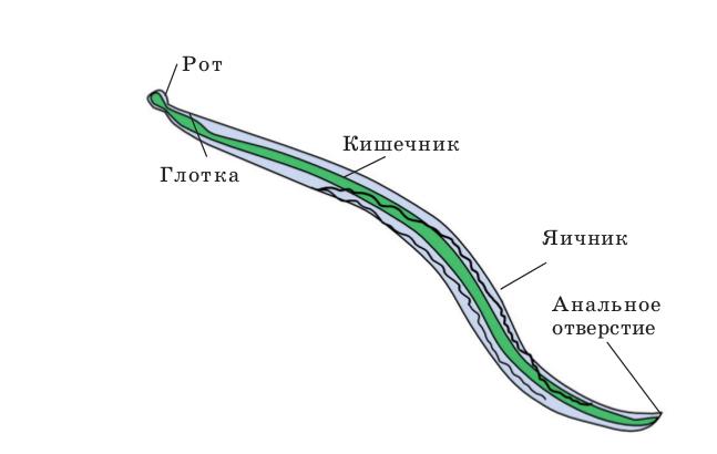 строение круглого червя